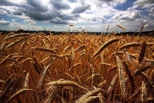 O trigo pertence à família dos cereais