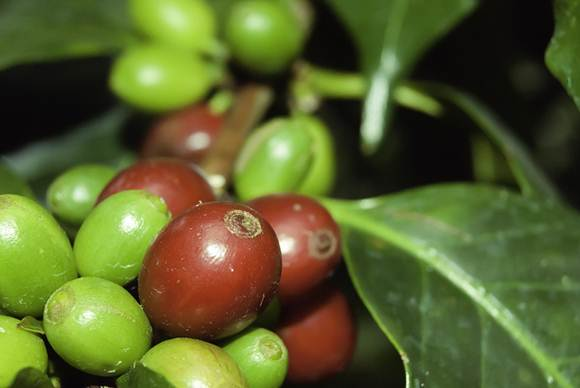 Fruto do café ainda no pé