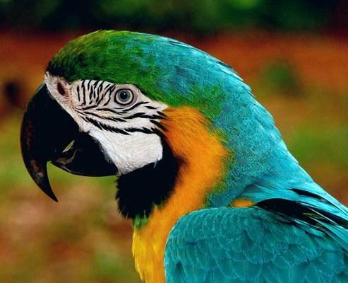 A arara é considerada um animal exótico, e para ser domesticada é necessário a altorização do IBAMA