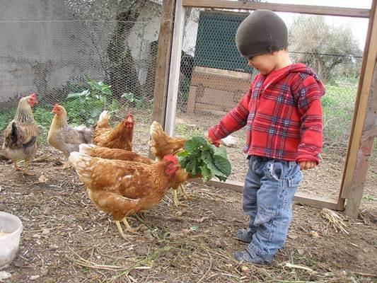 As galinhas criadas em quintais são conhecidas como galinha caipira