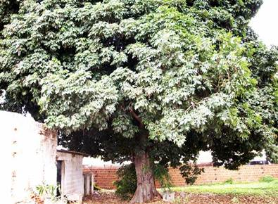 Àrvore andiroba