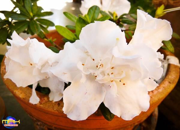 Azaleia branca