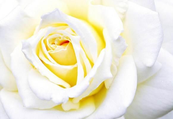 As flores, principalmente as rosas, são os presentes preferidos para o dia das mães