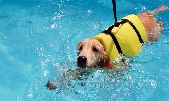 Quando há piscinas a natação é incluída nos exercícios diários dos cães